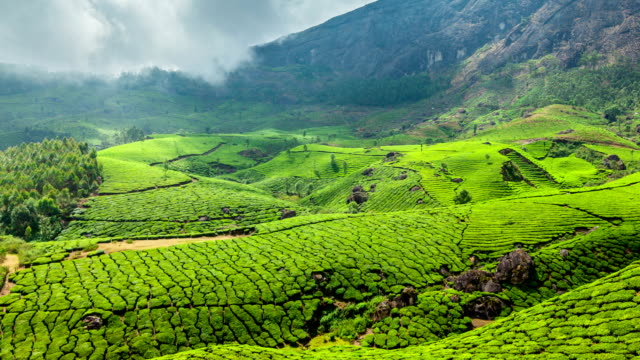 FullHD Timelapse of green tea plantations in Munnar, Kerala, India FullHD Timelapse of green tea plantations in Munnar, Kerala, India with pan south stock videos & royalty-free footage