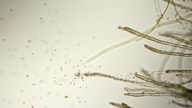 fungus spores micrograph video