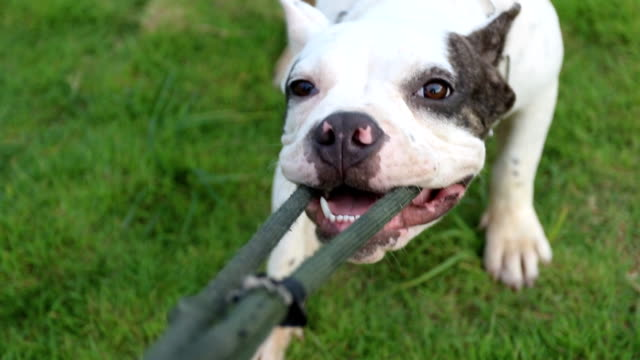 funny american bully dog playing pull rope with the owner video