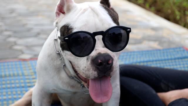 funny american bully dog wear sunglasses video