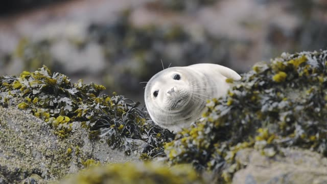 Funny animal, with young, cute, Baby Seal Waving And Yawning In Skomer Island - medium shot Funny animal, with young, cute, Baby Seal Waving And Yawning In Skomer Island - medium shot mouth open stock videos & royalty-free footage