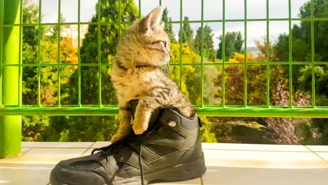 stockvideo's en b-roll-footage met grappige baby kat binnen een schoen. - schoen
