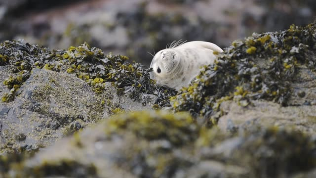 Funny baby seal yawning on the rocky coastline of Skomer Island, Wales Funny baby seal yawning on the rocky coastline of Skomer Island, Wales mouth open stock videos & royalty-free footage