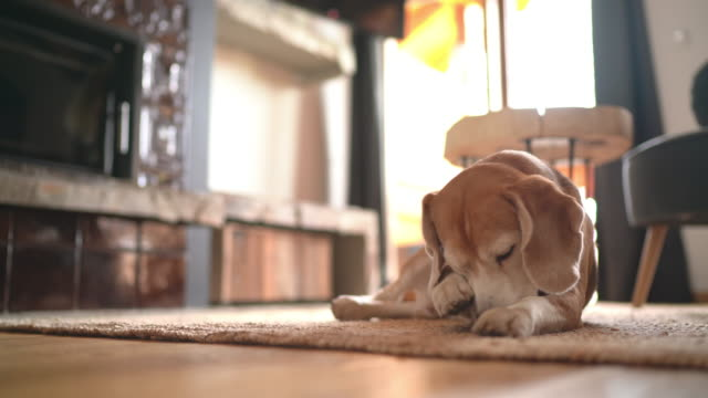 funny beagle dog lying on the living room carpet, licking its front paw and then washing with paw a snout. cute pets at home 4k uhdtv concept footage. - лапа стоковые видео и кадры b-roll