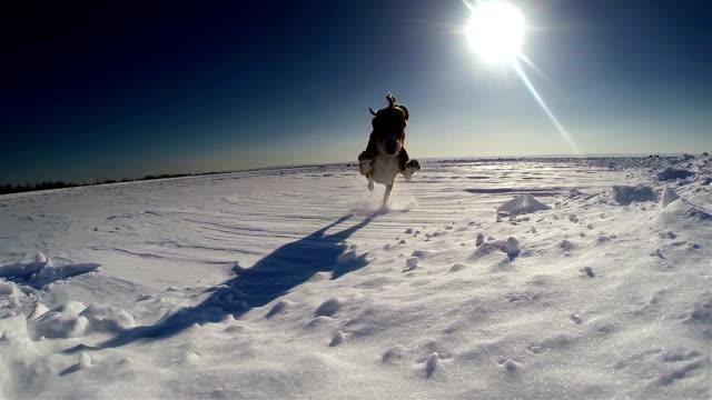 おかしなビーグル犬の子犬をカメラに実行します。 - イヌ科点の映像素材/bロール