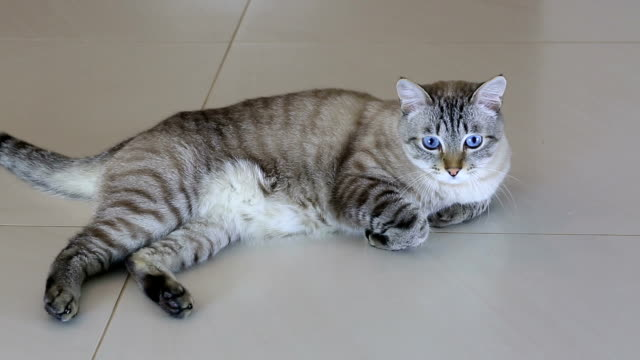 Funny beautiful cat playfully looks around Funny beautiful cat a playfully looks around. shorthair cat stock videos & royalty-free footage