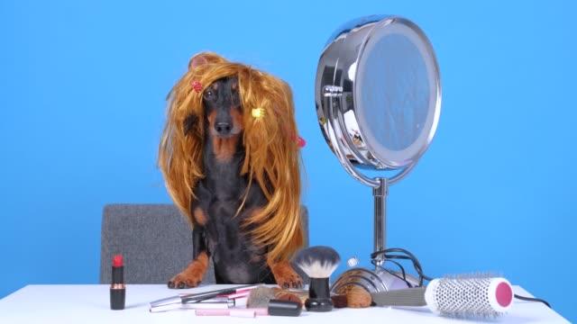 kırmızı peruk komik güzellik blogger dachshund köpek yuvarlak ayna önünde masada oturur, kozmetik makyaj fırçaları, ruj, kalem ve stil tarak etrafında yalan, mavi arka plan üzerinde vlog içerik filme - peruk stok videoları ve detay görüntü çekimi