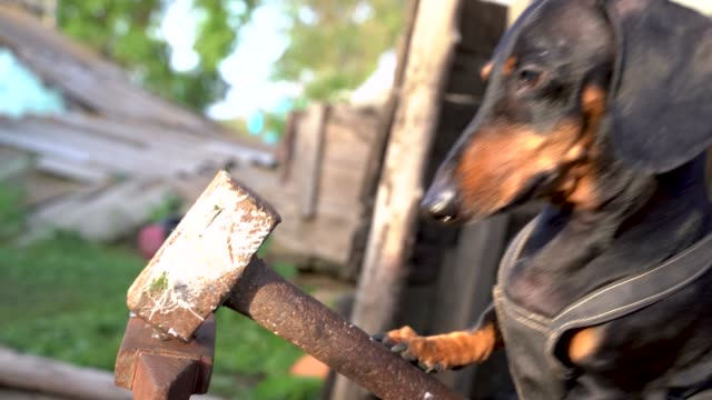 Funny black and tan dachshund hits the anvil with a large hammer, forging a metal chain. Humor concept of dog the blacksmith. Funny black and tan dachshund hits the anvil with a large hammer, forging a metal chain. Humor concept of dog the blacksmith. anvil stock videos & royalty-free footage
