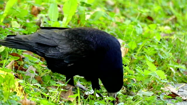 A funny black crow seeks something on a green lawn in slo-mo video
