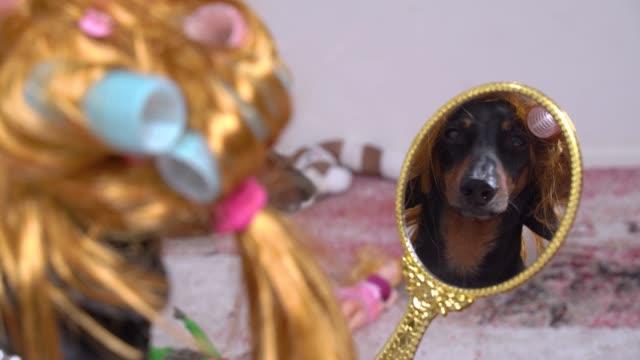 komik siyah dachshund altın sarı peruk ve mavi ve pembe saç curlers giyiyor, aynada saatler. kapalı, yansımaya arka görüş. - peruk stok videoları ve detay görüntü çekimi