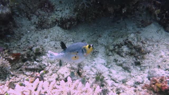 mercanlar üzerine komik blackbir kirpi - i̇htiyoloji stok videoları ve detay görüntü çekimi