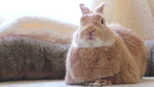 komik tavşan rufus tavşan yumuşak aydınlatma doğal tonlarda yakışıklı dudaklarını yalıyor - tavşan hayvan stok videoları ve detay görüntü çekimi