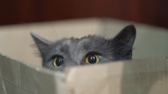 Funny cat face in a box. Gray cat is hunting prey staring out of the box. Funny cat face in a box. Gray cat is hunting prey or playing staring out of the box. Cat wide eyes and large pupils before pouncing. hiding stock videos & royalty-free footage