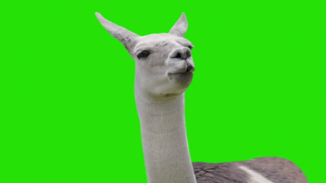 Funny chewing Llama isolated on chromakey video