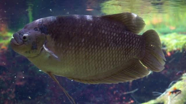 lustige nahaufnahme eines riesigen gourami, beliebte tropische süßwasserfisch-spezie aus asien - ichthyologie stock-videos und b-roll-filmmaterial