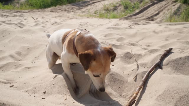 Funny cool dog playing with wooden stick in sand. - video