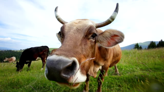 Funny cow grazing