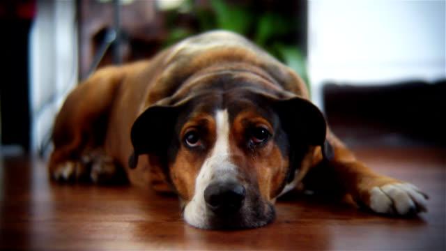 面白い寄り目犬 - 怠惰点の映像素材/bロール