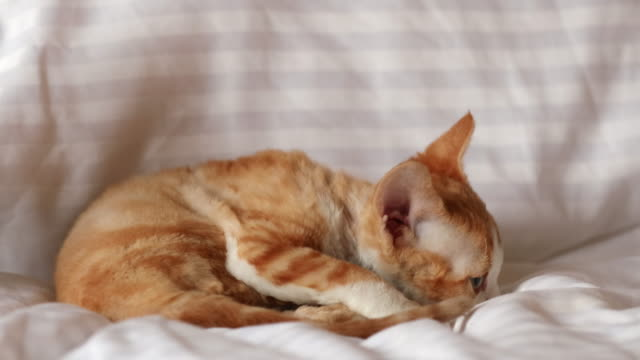 funny curious young red ginger and gray devon rex kitten playing together at home sofa. short-haired cat of english breed - gatto dal pelo corto video stock e b–roll