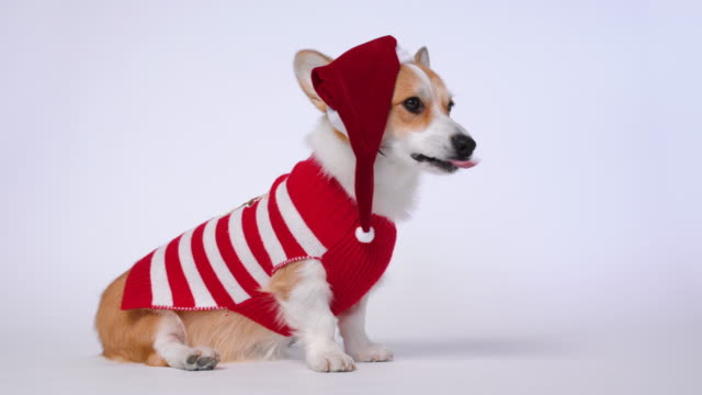Funny cute red and white corgi lays on the floor, wearing Santa Claus costume, red and white cap and striped pullover. New year or Christmas concept.