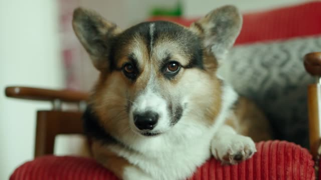 funny cute tricolor dog Welsh Corgi breed lying on the chair at home