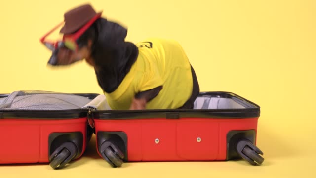 Funny dachshund dog in sunglasses and cowboy hat is packing suitcase for vacation in hot sunny country, sitting in open bag, looking around, barking and running away, yellow background.