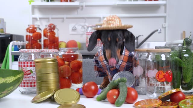 Funny dachshund farmer dog in plaid shirt and straw hat prepares equipment and products for canning vegetables and fruits for the winter at home and drinks water from can of tomatoes Funny dachshund farmer dog in plaid shirt and straw hat prepares equipment and products for canning vegetables and fruits for the winter at home and drinks water from can of tomatoes. pickle stock videos & royalty-free footage