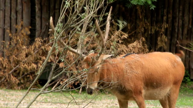 Funny deer with branch video