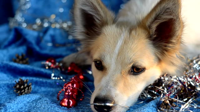 Funny dog Christmas background video