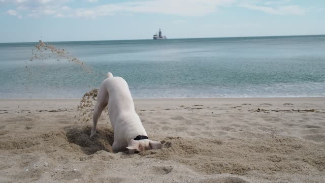 Funny dog digging a whole in the sand