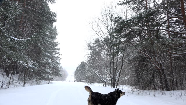 Funny dog in heavy snow fall in winter park. video