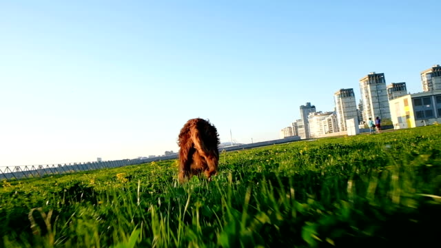 Funny dog is playing in the park at sunset. Pet Irish setter runs to the girl at sunset, slow motion Funny dog is playing in the park at sunset. Pet Irish setter runs to the girl at sunset, slow motion. irish setter stock videos & royalty-free footage