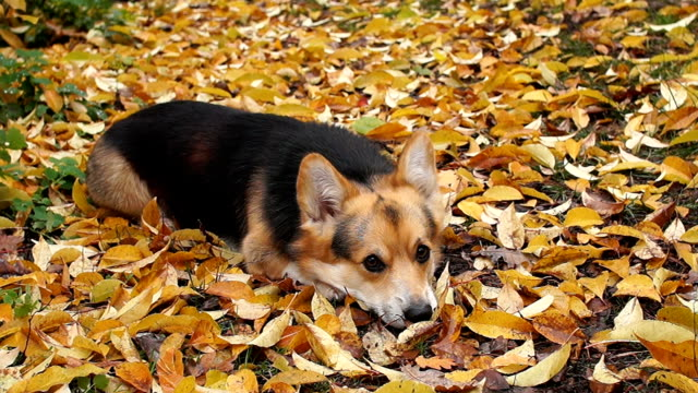 A funny dog lies on the ground in yellow leaves and creeps closer. Dog breed Welsh Corgi Pembroke on a walk in a beautiful autumn forest. video