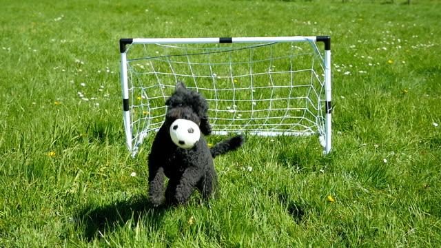 funny dog plays soccer, slow motion - strzelać piłkę filmów i materiałów b-roll