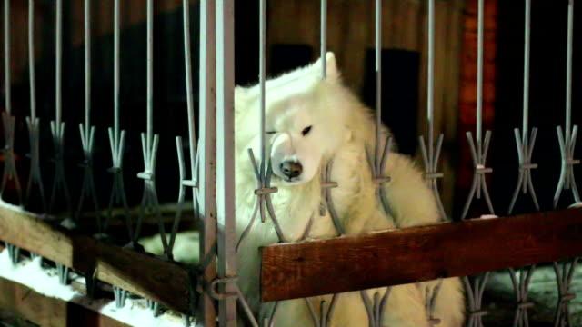 vídeos de stock e filmes b-roll de engraçado cão sentado atrás da vedação - samoiedo