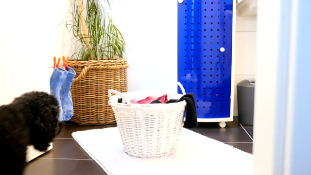 Funny dog takes laundry out of laundry basket Funny little poodle takes laundry out of basket laundry basket stock videos & royalty-free footage