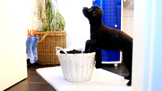 funny dog throws laundry in the laundry basket - calzino video stock e b–roll