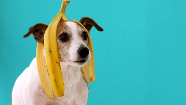 vídeos de stock e filmes b-roll de funny dog with banana peel on his head portrait - ignorância