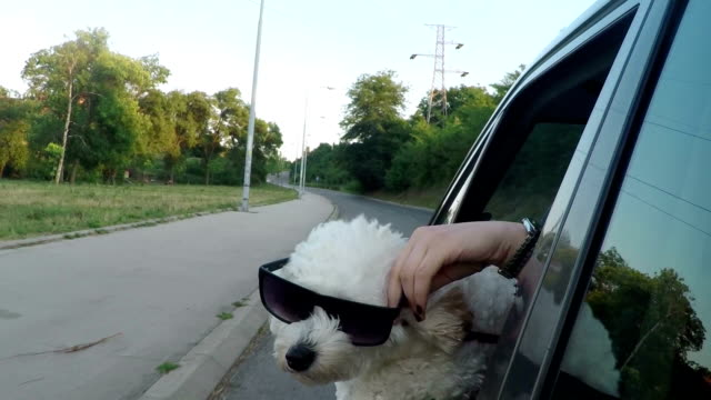funny dog with sunglasses looking out of car window - bichon frisé video stock e b–roll