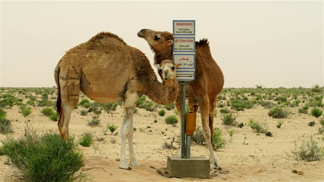 Funny dromedaries scrub on a gas pipeline. video