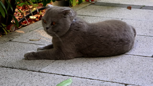 Funny fat Persian cat with orange eyes - video