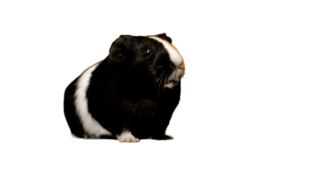 Funny guinea pig speaks video
