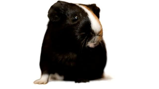 Funny guinea pig talking video