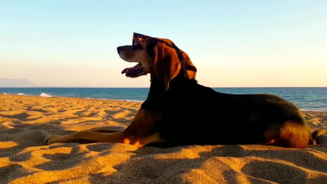 забавный счастливый портрет собаки на пляже в солнцезащитных очках. - white background стоковые видео и кадры b-roll