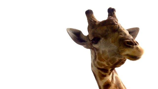 funny head of giraffe against white background