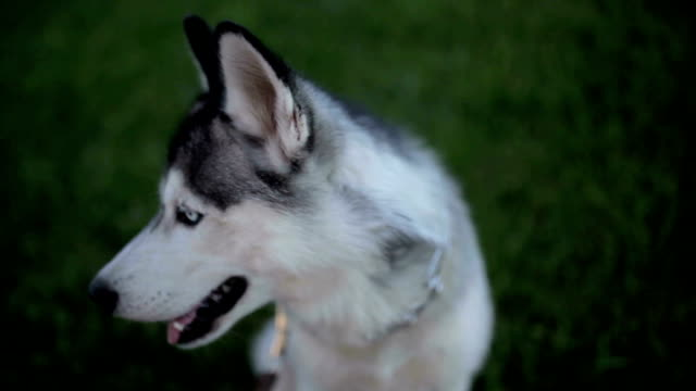 funny husky dog with different eyes - malamute video stock e b–roll