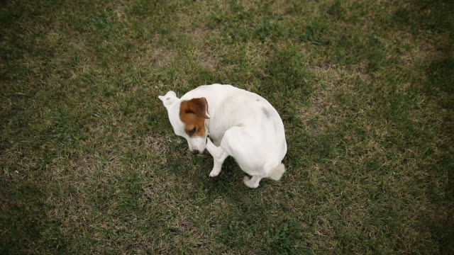 Funny jack russel terrier chasing tail and biting leg in public park. Purebred dog chewing his paw in meadow Funny jack russel terrier chasing tail and biting leg in public park. Purebred dog chewing his paw in meadow tail stock videos & royalty-free footage