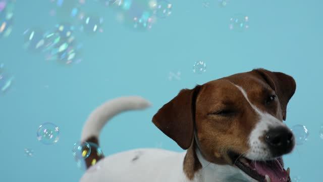 funny jack russell ha kul i studion på en blåaktig bakgrund. husdjuret fångar med sin mun såpbubblor som flyger runt honom. slow motion. när du vill - brun beskrivande färg bildbanksvideor och videomaterial från bakom kulisserna