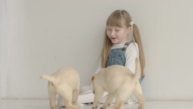 Funny labrador puppies are pulled by the laces of a girl