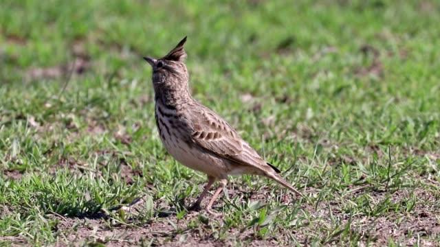 Bидео Funny little bird, Crested lark on ground (Galerida cristata) Wildlife Close up